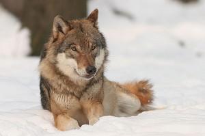 Canis_lupus