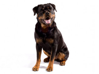 Εικόνα από https://www.akc.org/dog-breeds/rottweiler/