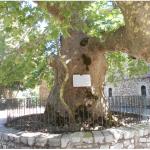 Το ιερό δέντρο στο οποίο ορκιστήκαν οι οπλαρχηγοί