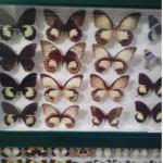πεταλουδες2