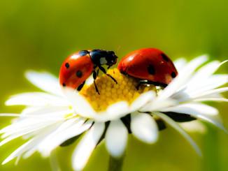 ladybugs-daisy-petals