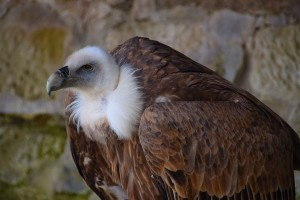 vulture-1301215_960_720