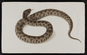 32: Probably the same species as N° 31 but older