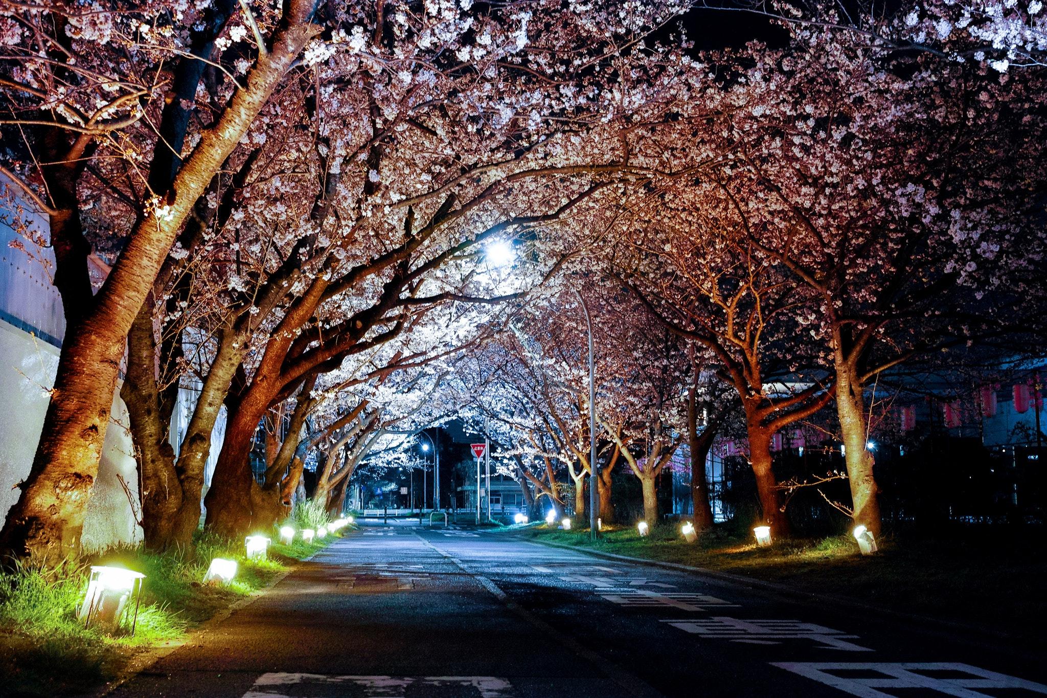 cherry-blossom-dark-night-96810